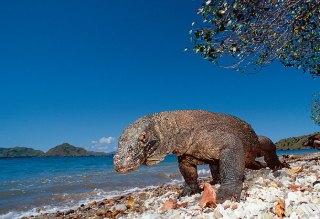 Ayo Dukung Pulau Komodo Menjadi 7 Keajaiban Alam Baru di Dunia !